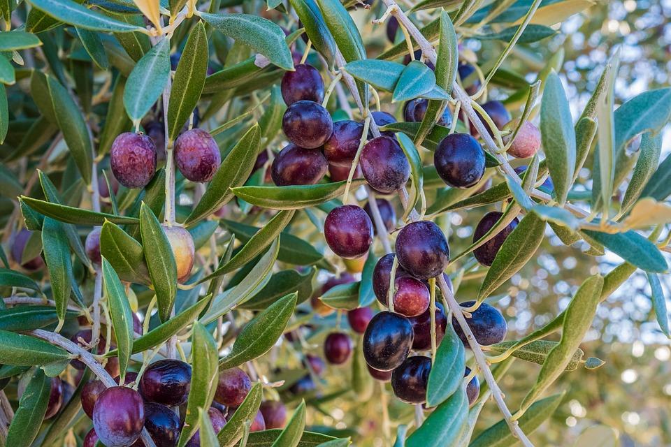 Quand récolter des olives de Provence ?